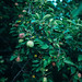 Apple tree with green leaves.