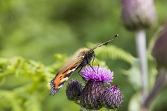 Photo of Small Tortoiseshell