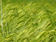 Wheat @ Vesonne @ Faverges-Seythenex