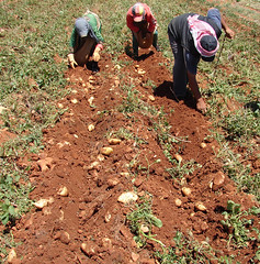 Potato farmers in the Bekaa