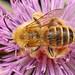 A Pantaloon Bee on a thistle
