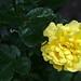 Yellow Rorse