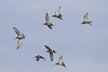 Black Tailled Godwits