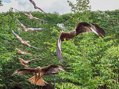 Photo of Red kite swoop sequence