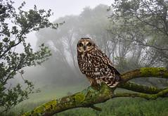 Photo of Short-eared Owl (Asio flammeus)