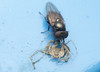 2L2A1798 fly feeding on cast off skin