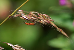 Photo of Soldier beetle
