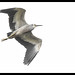 White-faced Heroni: Against the White