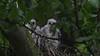 Sparrowhawk-Juvenile's on nest, 04072020, 01 f