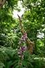 Foxglove and a dead tree
