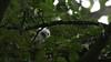 Sparrowhawk-Juvenile's on nest, 04072020, 03 f