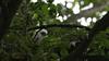 Sparrowhawk-Juvenile's on nest, 04072020, 02 f