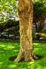 Plane Tree, Kirkcaldy