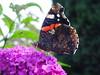 Wildlife////uk////buttreflies&Moths