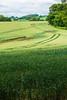 Wheat Field, Raith Estate, Kirkcaldy