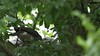 Sparrowhawk-female with Juvenile's on nest, 04072020, 04 f
