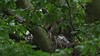 Sparrowhawk-female with Juvenile's on nest, 04072020, 02 f