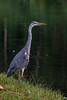 Heron alert for canal walkers.jpg