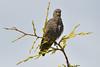 Juvenile Starling.