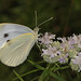 186/366 Cabbage White - Pieris rapae on Narrow-leafed Mountain Mint, Prince William Forest Park, Triangle, Virginia