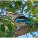 Blue Winged Kookaburra (Dacelo leachii) (Male - blue tail) - home garden, Darwin, Northern Territory, Australia