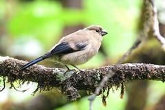 hns_1747-azorengoudvink-pyrrhula-murina-bouvreuil-des-accca7ores-azorengimpel-azores-bullfinch