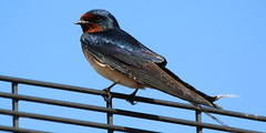 Photo of Trafford Swallow