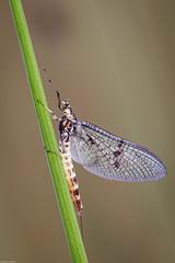 Photo of Mayfly