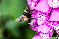 Photo of bee landing on a foxglove