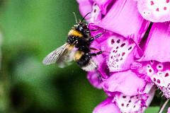 Photo of bee landing on a foxglove