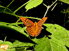Photo of Silver-washed Fritillary Male.
