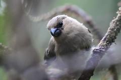 hns_1710-azorengoudvink-pyrrhula-murina-bouvreuil-des-accca7ores-azorengimpel-azores-bullfinch