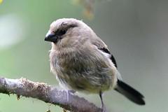 hns_1725-azorengoudvink-pyrrhula-murina-bouvreuil-des-accca7ores-azorengimpel-azores-bullfinch