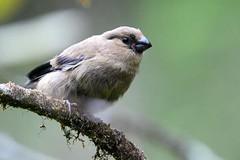 hns_1714-azorengoudvink-pyrrhula-murina-bouvreuil-des-accca7ores-azorengimpel-azores-bullfinch