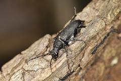 Photo of Large Black Longhorn Beetle - Stictoleptura scutellata