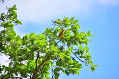 Photo of 20STA136 Greenfinch, Perton