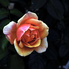 La Solitud de la rosa