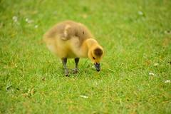 Photo of 20STA134 Canada goose gosling, Perton