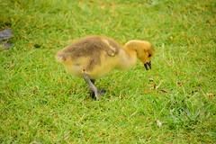 Photo of 20STA131 Canada goose gosling, Perton