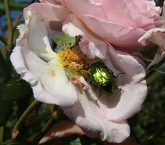 Photo of Rose Chafer (Cetonia aurata)