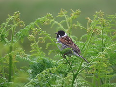 Photo of Reed Bunting