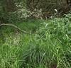 Deschampsia cespitosa (Tufted Hair-Grass), habit 3, Oxleys, Hatfield, Herts, 5.7.20