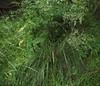 Deschampsia cespitosa (Tufted Hair-Grass), habit 2, Oxleys, Hatfield, Herts, 5.7.20