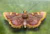 Hypsopygia costalis (Golden Triangle) - Pyralidae - Bretton, Peterborough, UK