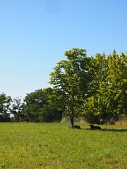 Les brebis au parc Panoramis - Bassens