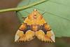 Cidaria fulvata (Barred Yellow) - Geometridae - Bretton, Peterborough, UK