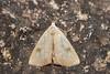 Rivula sericealis (Straw Dot) - Noctuidae - Bretton, Peterborough, UK