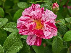 Photo of Striped Rose