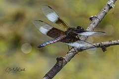 Widow skimmer dragonfly (m)