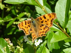 Photo of Comma butterfly seen near the M1 in Milton Keynes 05Jul20